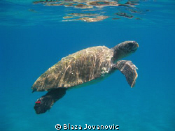 Loggerhead sea turtle in waters of Zakynthos, Greece; can... by Blaza Jovanovic 